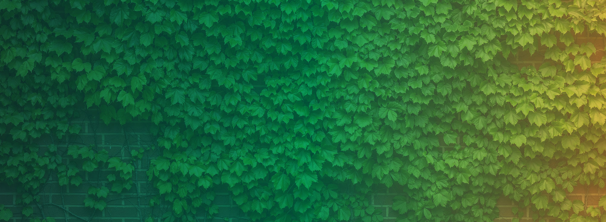 ivy climbing up a brick wall